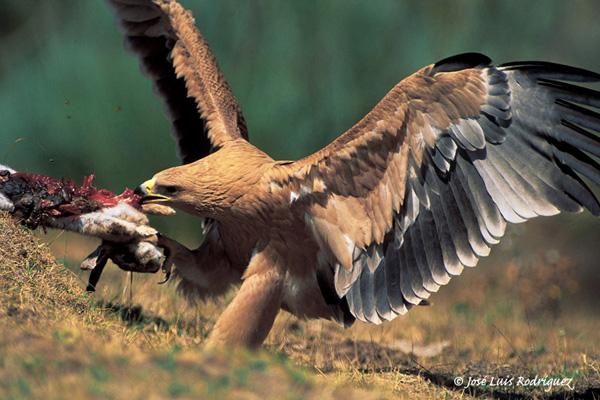 Águila imperial - jabonnatural.com
