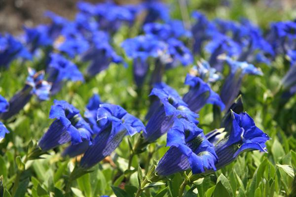 Flores de genciana - Jabonnatural.com