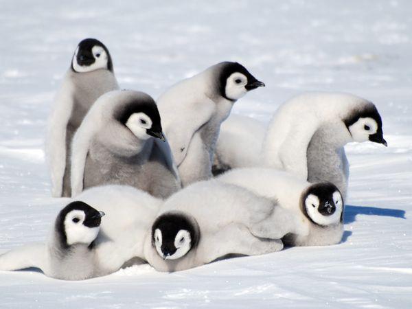 Pingüino-emperador-jabonnatural
