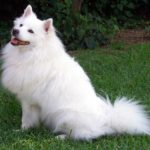 american eskimo dog;dog breeds; best dog breeds for home; features;history;