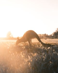 A kangaroo in Australia, in the sun.