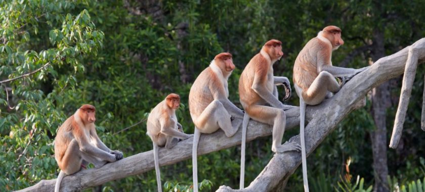 Coming Nose-to-Nose with the Proboscis Monkeys of Borneo | Jacada Travel