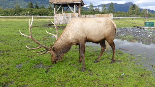 Caribou in rehabilitation at the Alaska Wildlife Conservation Centre.