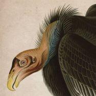 """Condors of the Inland Northwest"""