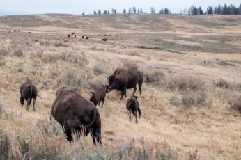 Buffalo Calfs fooling around.