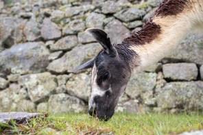 Yes, Lama's like Machu Picchu too!