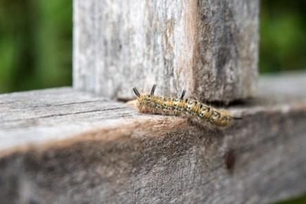 caterpillar Punky