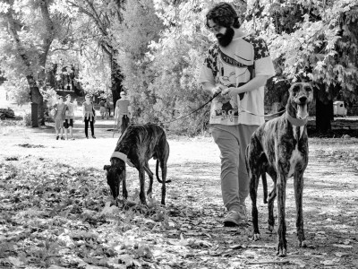 Man with Greyhounds for a Walk