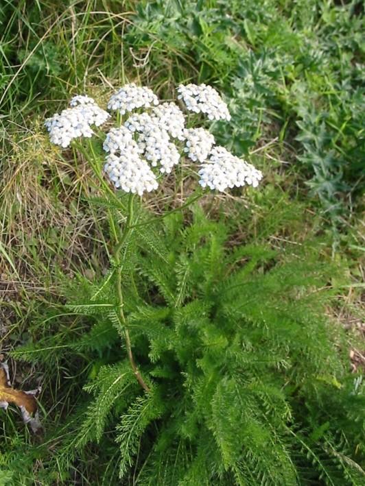yarrow salve | herbal remedies | Kent | south east | London