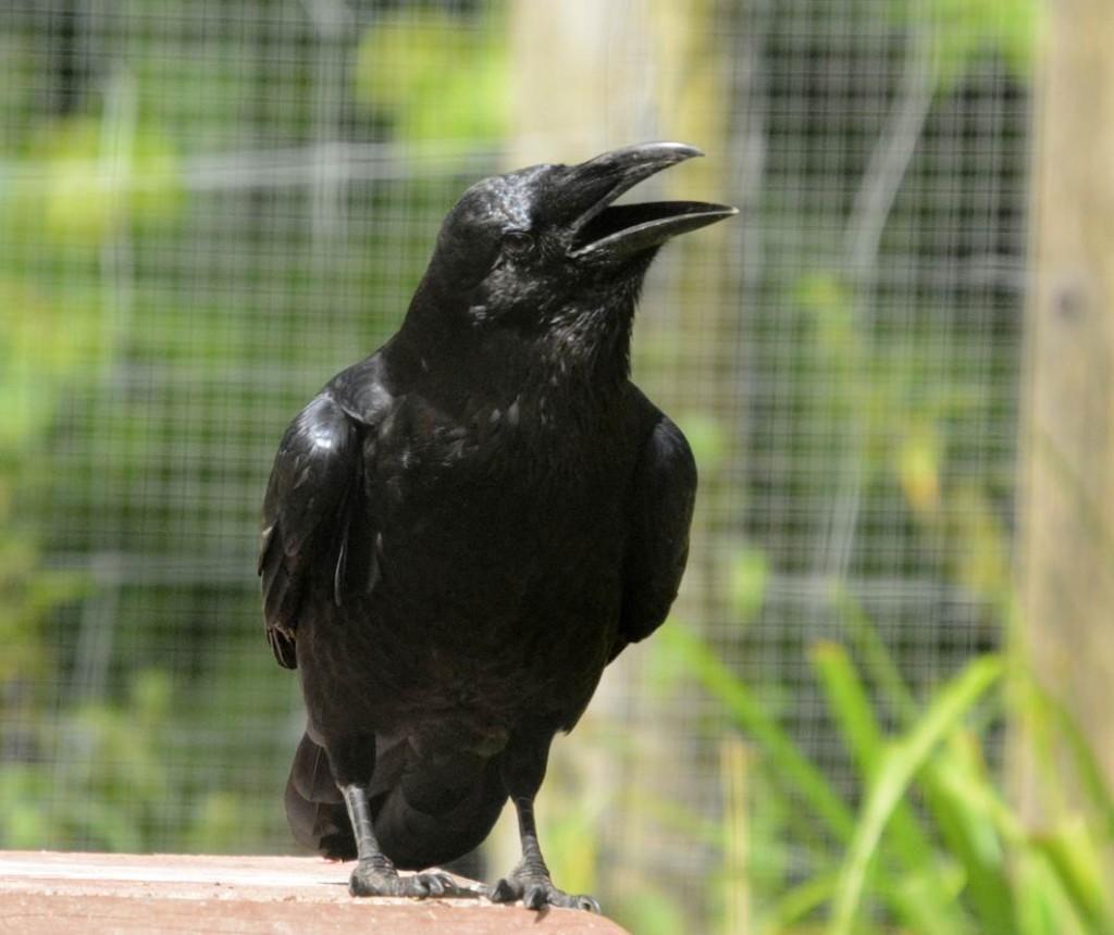 ravens at wildwood