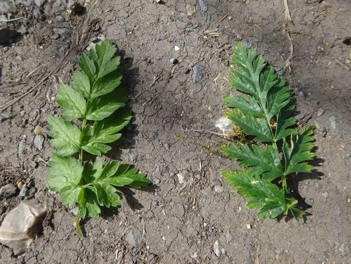 hemlock leaf