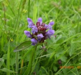 herbal first aid   herbal remedies   hedgerow medecine