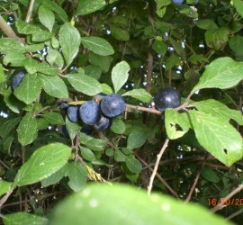 sloe gin   fruit and berries   foraging   Kent   south east   London