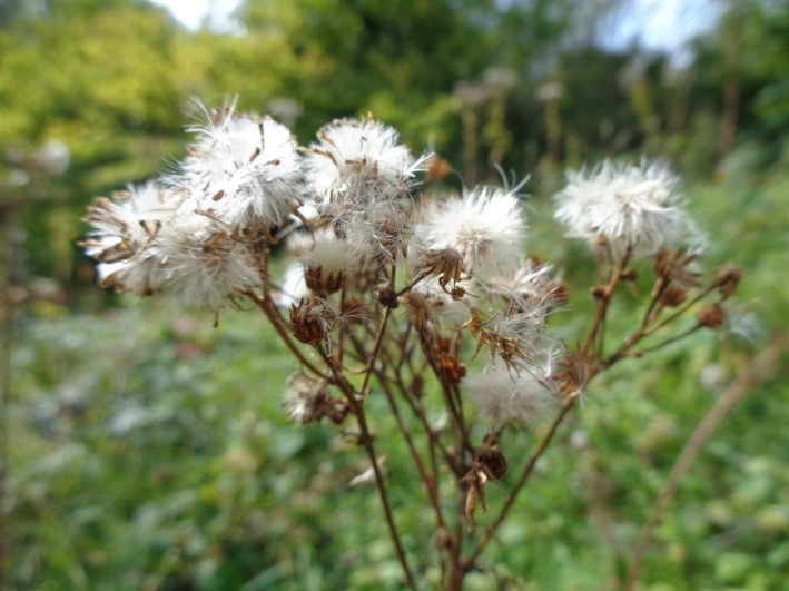 downy flower heads | tinders | bushcraft | fire lighting | Kent | south east | London