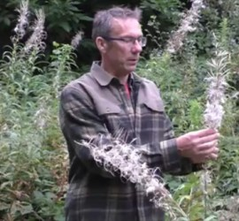 collecting downy flower heads | bushcraft | Kent | south east | London | survival