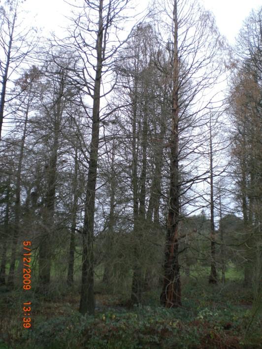 conifers | bushcraft | Kent