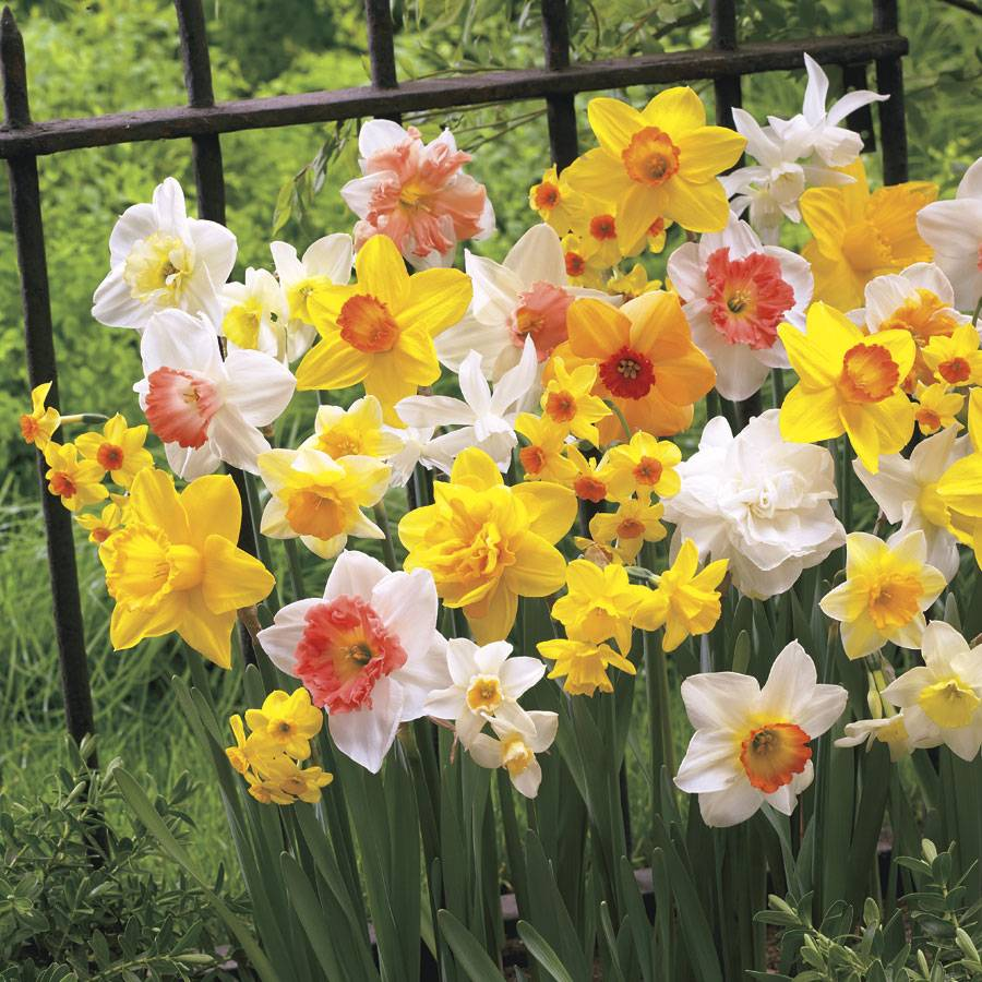 All Spring Daffodil Mix at Jackson & Perkins