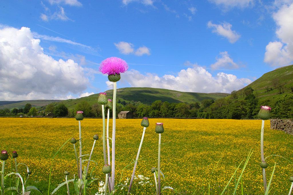 Swaledale meadow