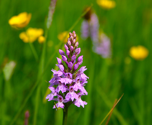 Colourful orchid in dales meadow