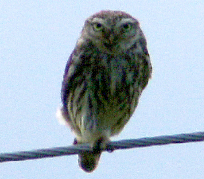 Owl at Langcliffe