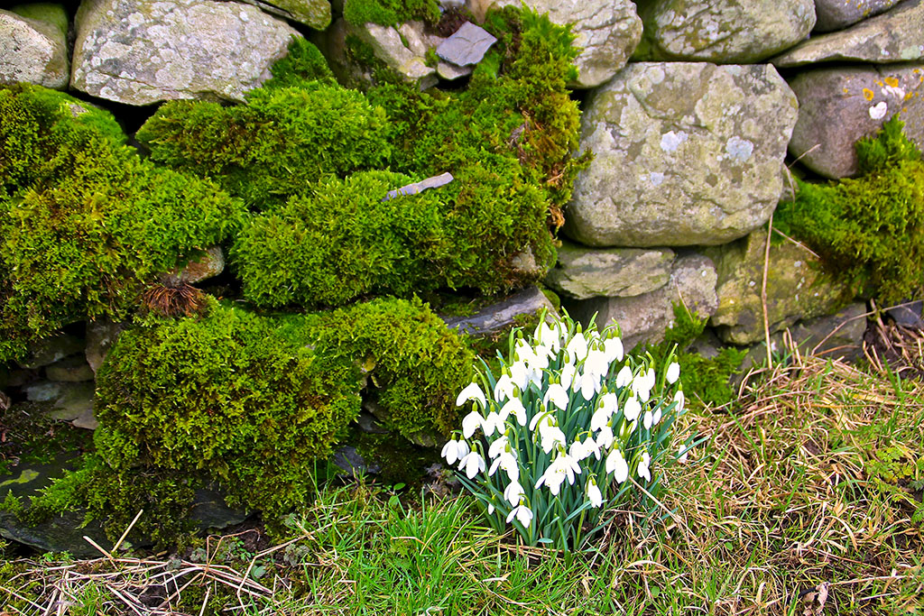 Snowdrop and limestone wall