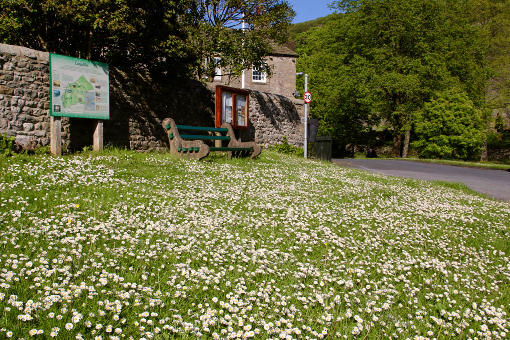 Daisies at Langcliffe