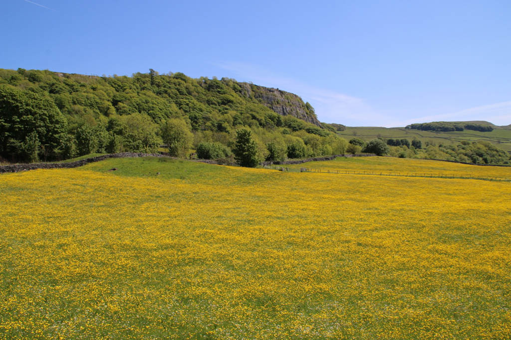 Buttercups at Stainforth Scar
