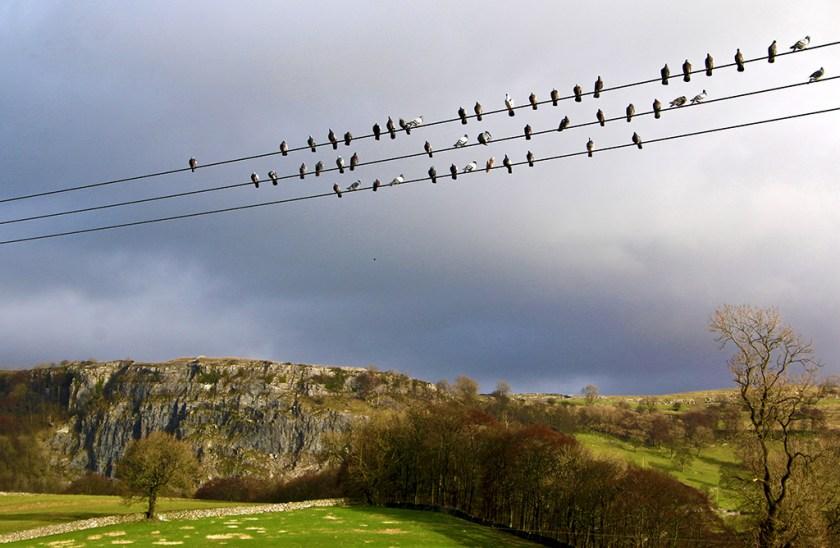 ribble pigeons