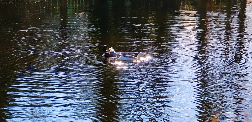yorkshire ducks