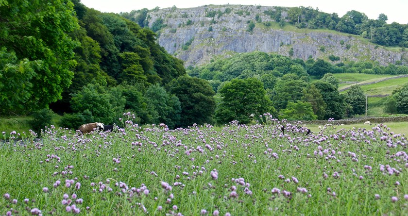 Ribblesdale thistles
