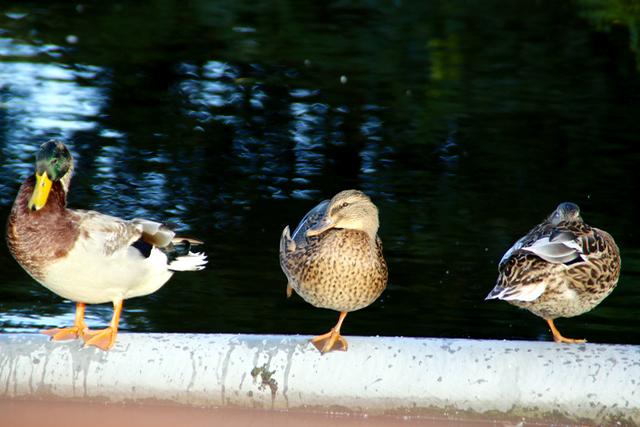 duckdance