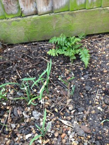 Fern and sraggly first year snowdrops