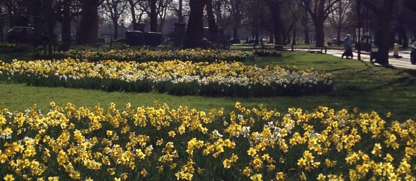 Clapham Common Old Town Daffodils
