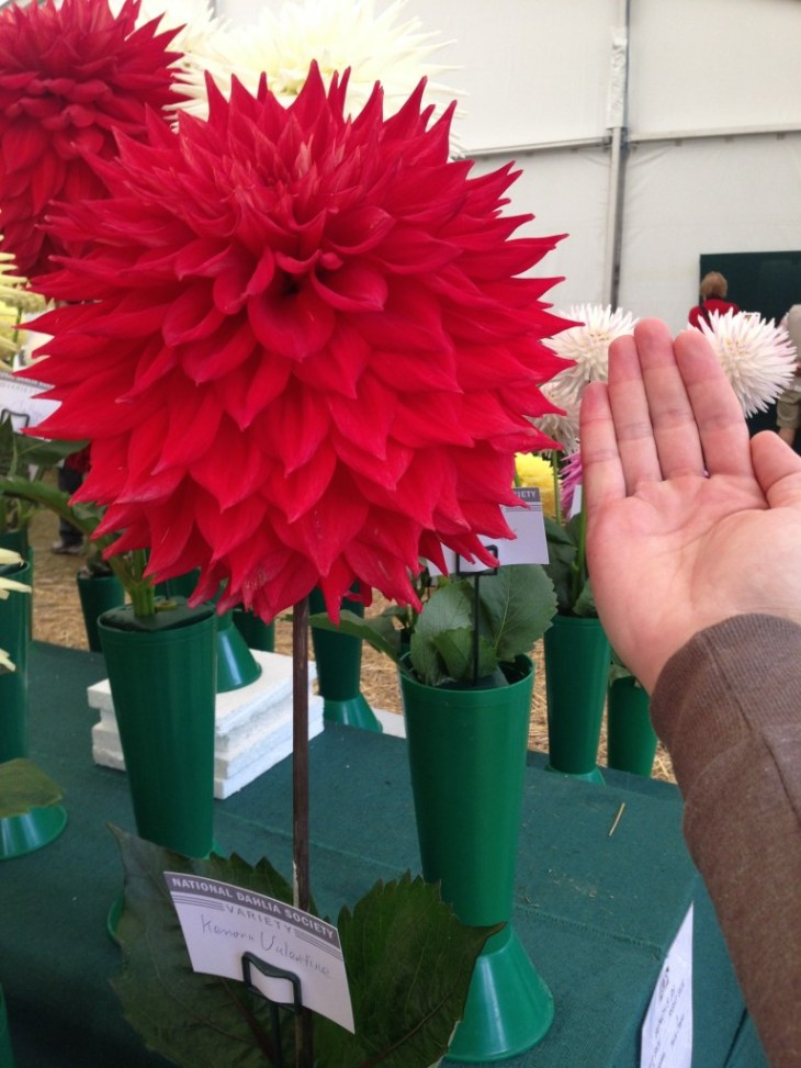 National Dahlia Society Annual Show 2014