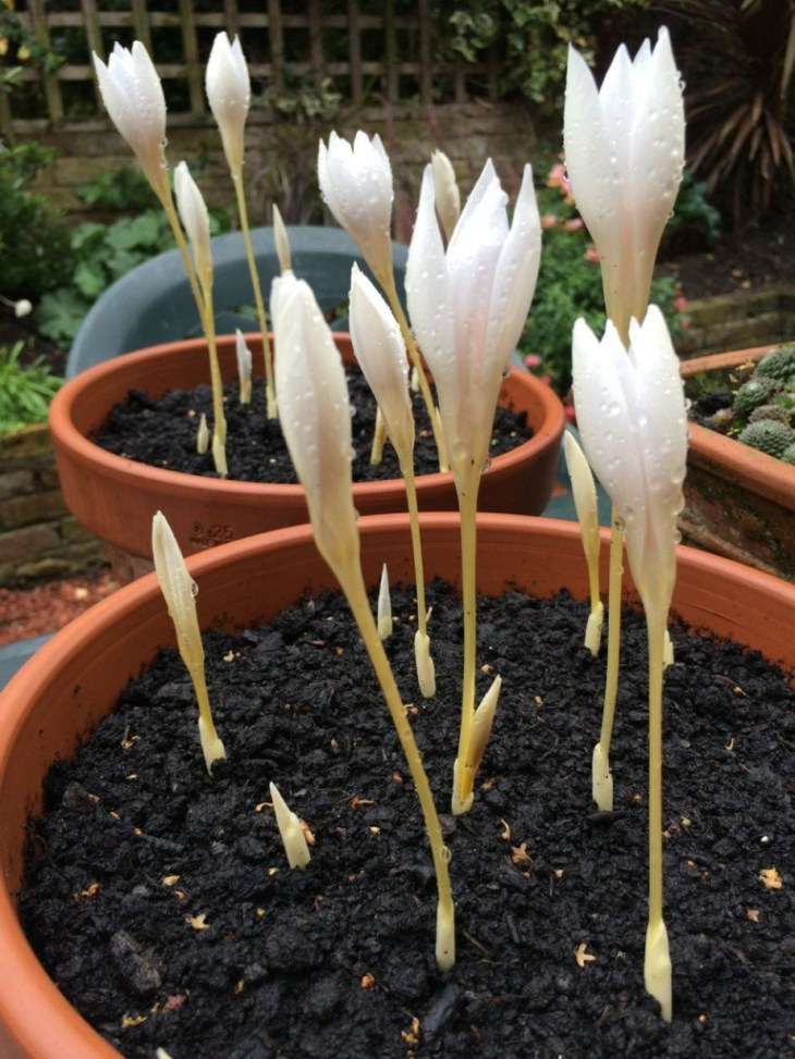 Spring crocus' flowering already because the weather was so mild