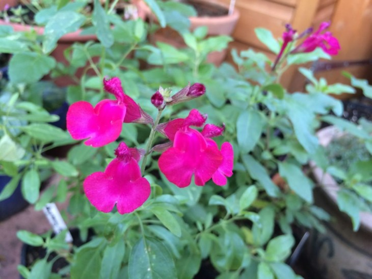Salvia 'Raspberry Royale'