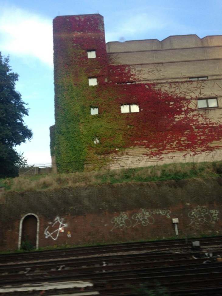Boston Ivy caught midway through turning a blazing red on a building just outside of East Croydon Station - caught in a split second on the train on my way home (thus the wonk!)