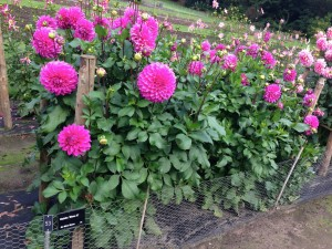 Dahlia trials at RHS Wisely