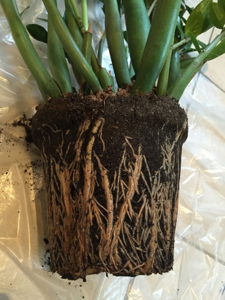 Our Zamioculcas zamiifolia' very (too) healthy root system was so crowded I had to cut it out of the pot!
