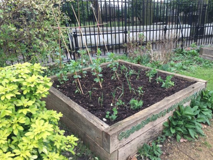 My little veg bed in the community garden already has Vicia faba 'Aquadulce Claudia' in flower