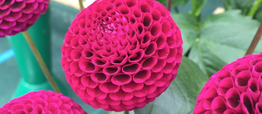 National Dahlia Society Annual Show 2015 & RHS Dahlia Trials