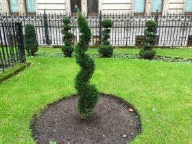 christmas-tree-topiary - 1