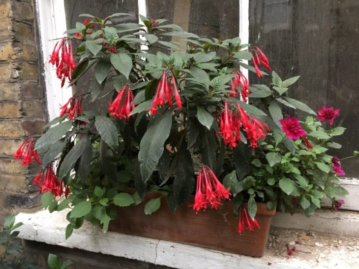Fuchsia triphylla 'Mary'