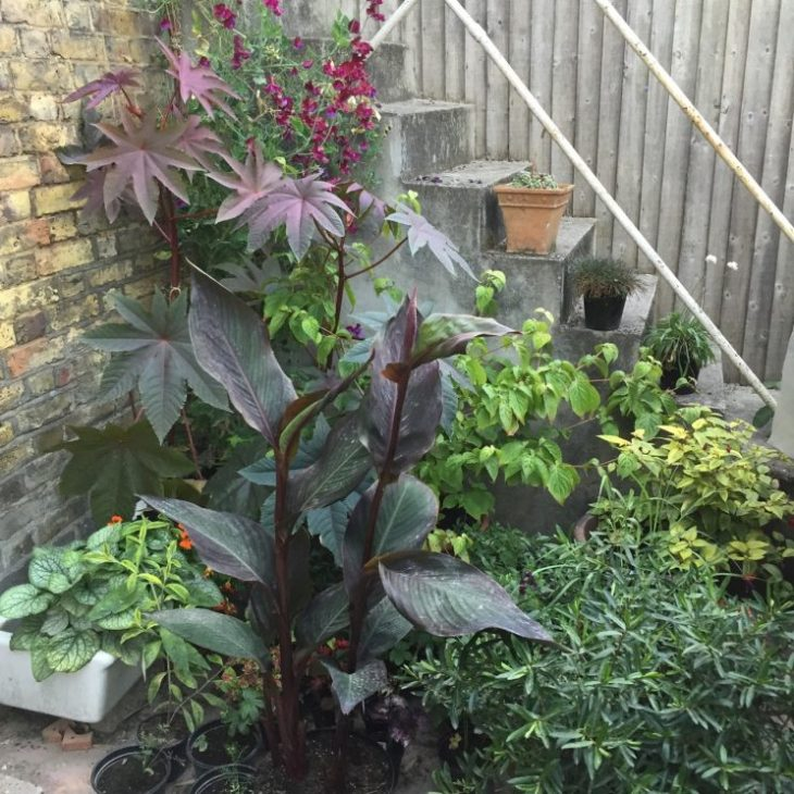 Ricinus communis 'Carmenchita' (plus Canna 'Assaut', Brunnera, Hebe and others)
