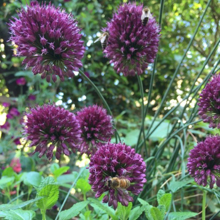 Allium sphaerocephallon