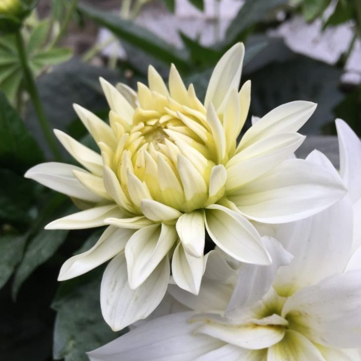 Dahlia 'Gallery Art Fair'