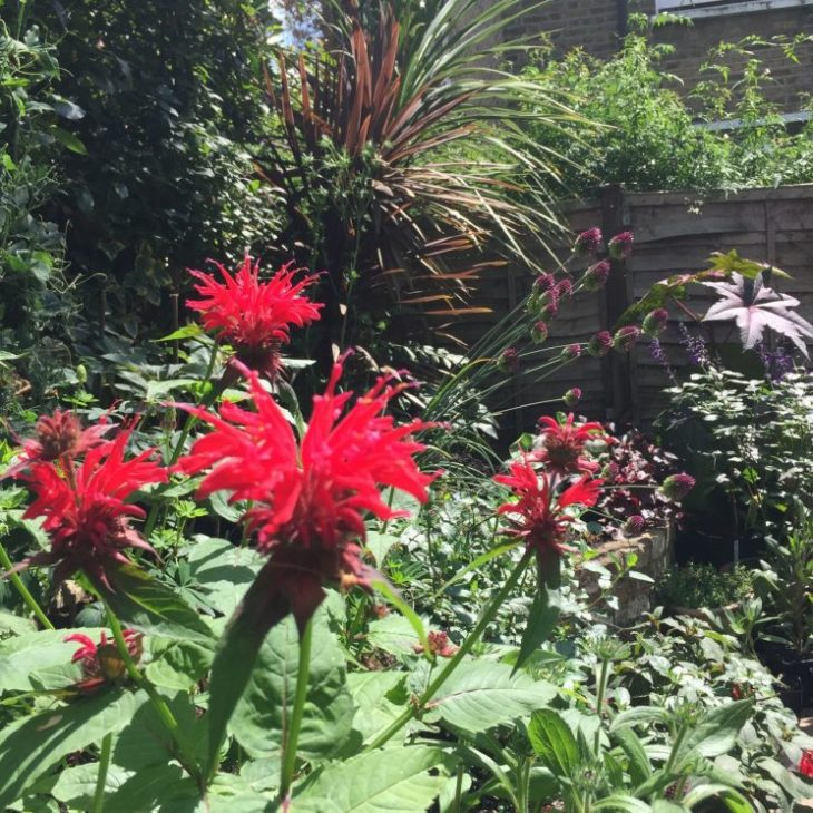 Monarda didyma 'Cambridge Scarlet'