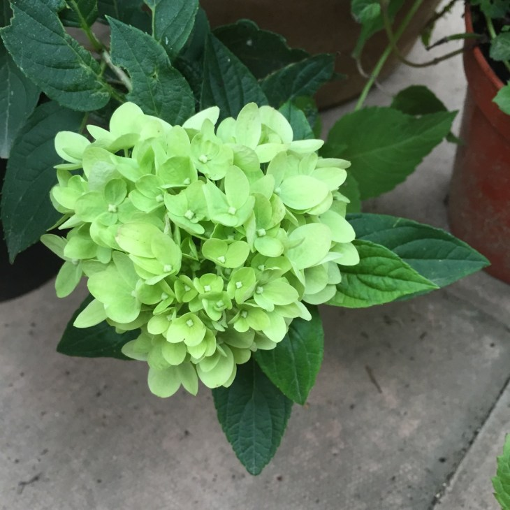 Hydrangea macrophylla 'Little Lime'