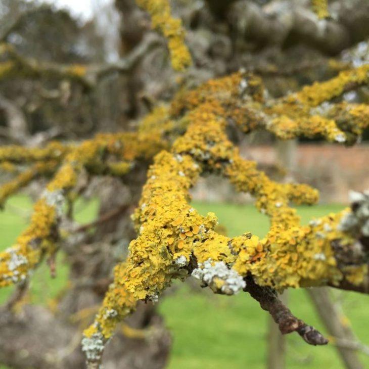 Rousham lichen