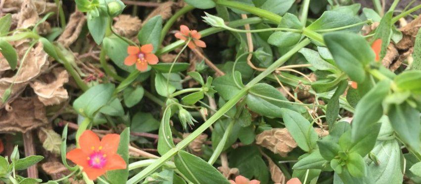 Taming the weedy wildflower